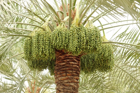 dioecious: Date palm with green unripe dates Stock Photo