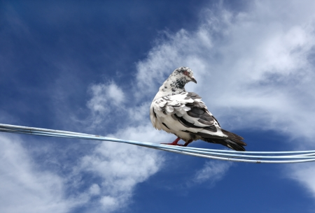 high metabolic rate: A beautiful pigeon on a clear sky Stock Photo