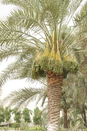 kimri: Dates clusters on date tree Stock Photo