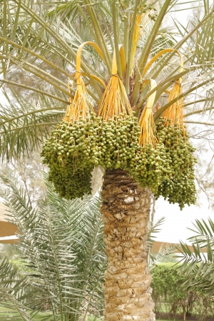 Hanging kimri clusters on date tree photo