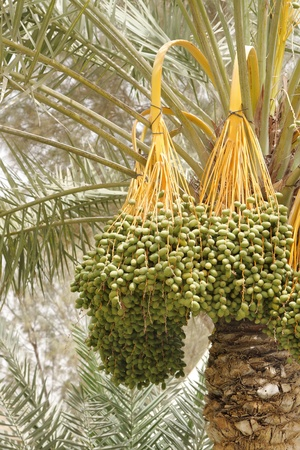 Closeup of hanging kimri clusters on date tree photo