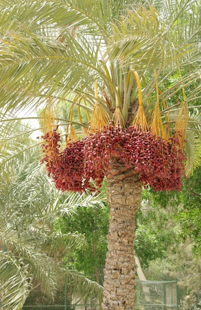 kimri: Red Kimri dates clusters