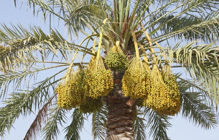 kimri: Clusters of Kimri dates  Stock Photo