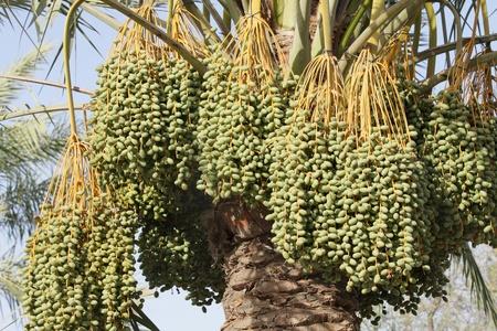 kimri: Heavy bunches of Kimri dates