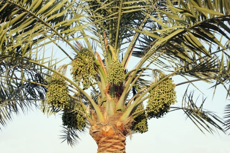 hot date: Date palm and green dates