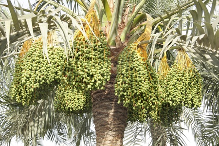 green dates: clusters of kimri green dates