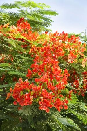 fabales: Beautiful Gulmohar flowers Stock Photo