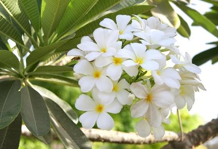 intensely: Beautiful white Frangipani cluster Stock Photo