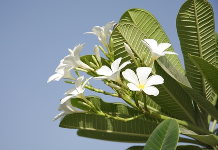 Beautiful Frangipani with elongated drak green leaves Stock Photo - 14314827