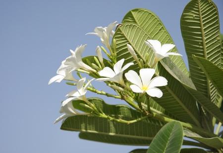 Beautiful Frangipani with elongated drak green leaves Stock Photo - 14314827