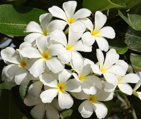 champa flower: cluster of beautiful Frangipani