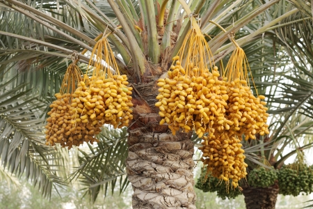 hot date: Yellow dates clusters