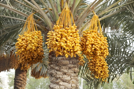 kimri: Yellow kimri dates clusters Stock Photo