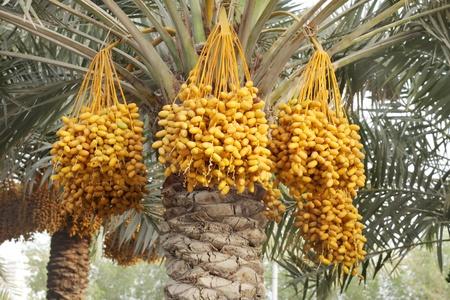 kimri: Yellow kimri dates clusters Stock Photo