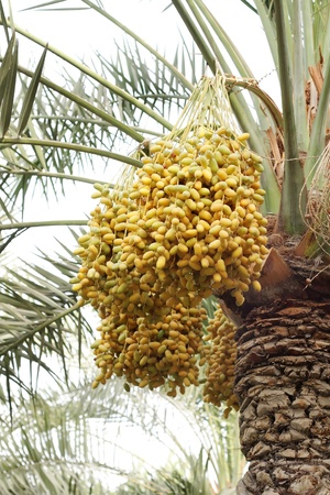 kimri: Yellow and green kimri clusters