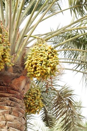 kimri: Kimri dates cluster