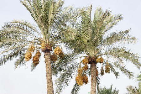 Date palm tree with clusters of kimri dates  photo