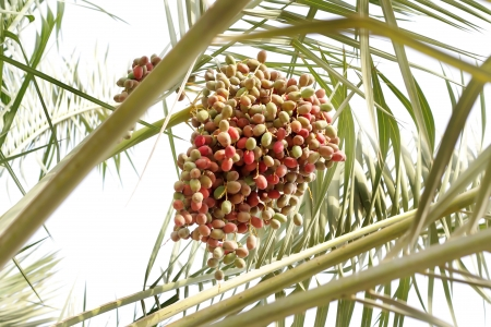 kimri: Closeup of a bunch of multicolor kimri dates Stock Photo