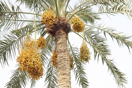 Beautiful date palm with clusters of dates photo