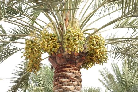 kimri: green and yellow unripen dates