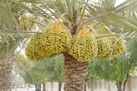 Dense kimri dates clusters photo