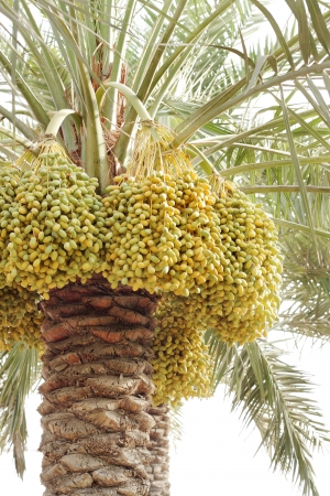 Closeup of dense kimri dates clusters photo