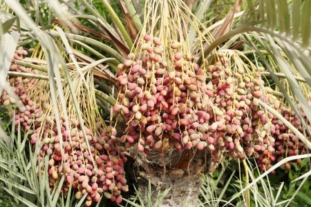 kimri: Red and purple kimri dates