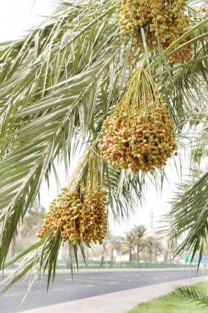 kimri: Green, orange and yellow kimri dates clusters