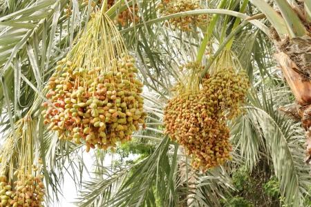 kimri: Closeup of green, orange   yellow kimri dates clusters
