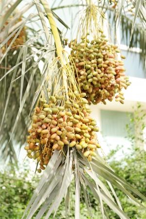 kimri: Green, orange   yellow kimri dates clusters on branch of a date tree Stock Photo