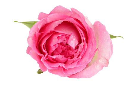 Top view of a beautiful pink rose Stock Photo