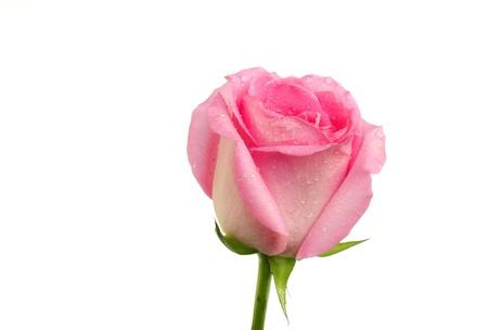 splendid looking pink rose photo