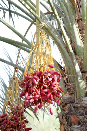 kimri: A bunch of beautiful red kimri dates Stock Photo
