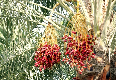 Beautiful red kimri dates clusters Stock Photo