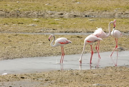 high metabolic rate: Plenty of food available for Flamingos during low tide