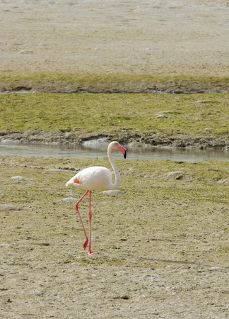 A beautiful flamingo on the sea bed during low tide
