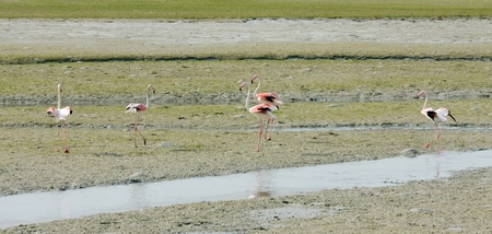 high  metabolic rate: Flamingos during low tide