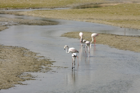 high  metabolic rate: Flamingos on the sea bed during low tide Stock Photo