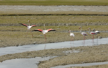 high metabolic rate: Beautiful Flamingos ready to fly