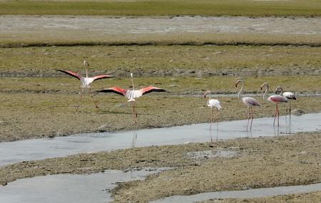 heterotrophs: Beautiful Flamingos ready to fly