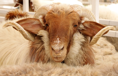 Beautiful awassi sheep looking towards the camera photo