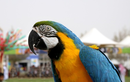Closure look at Blue and yellow Macaw Stock Photo - 14399408