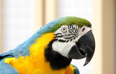 bipedal: Closeup of a blue and yellow macaw