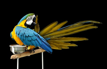 bipedal: A beautiful macaw etching its feather