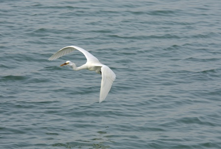 bipedal: A white egret flying above water
