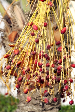kimri: Closeup of red kimri dates Stock Photo