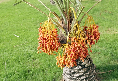 Beautiful red and orange kimri date clusters in a small tree photo