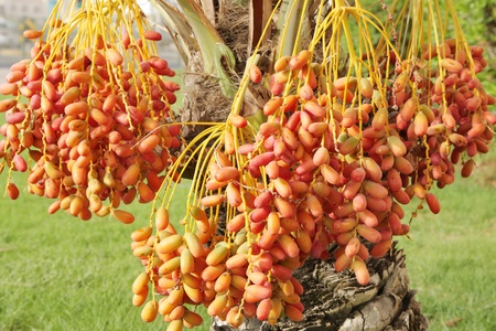 kimri: Closeup of red and orange dates clusters
