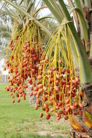kimri: Beautiful kimri date clusters Stock Photo