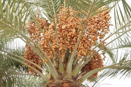 kimri: Dense orange kimri dates clusters